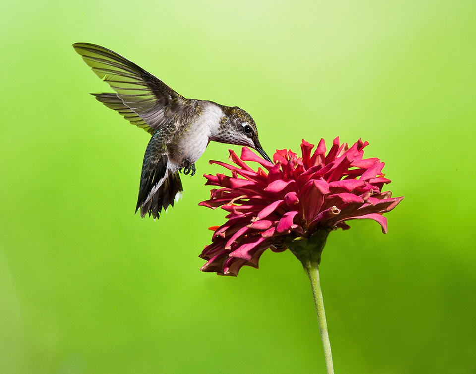 Hummingbird With Zinnia