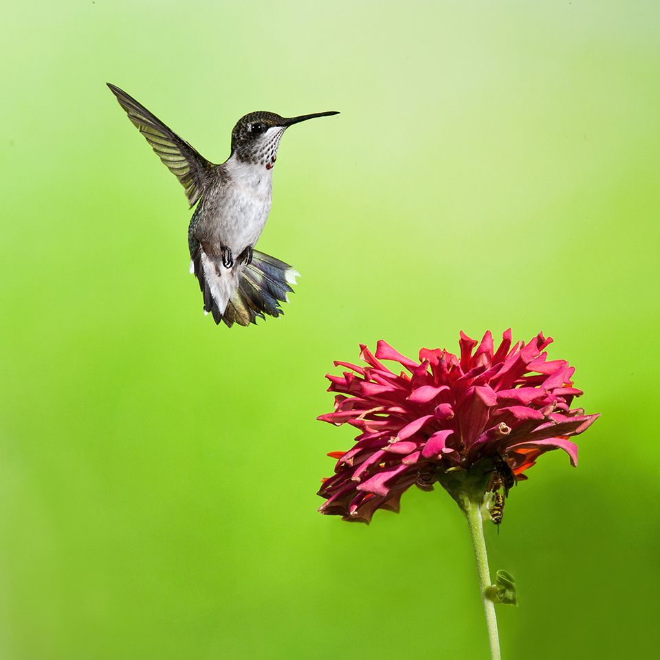 Hummingbird And Zinnia 2