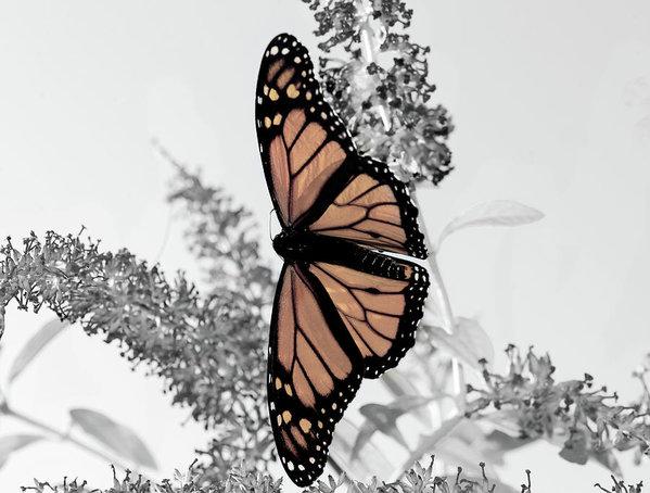 pastel-monarch-on-black-and-white-lara-ellis