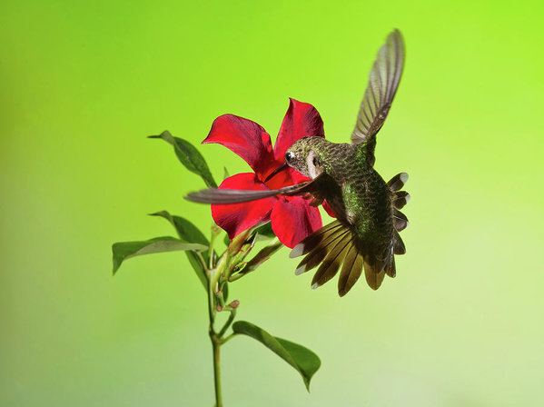 ruby-throated-hummingbird-on-mandavilla-flower-lara-ellis