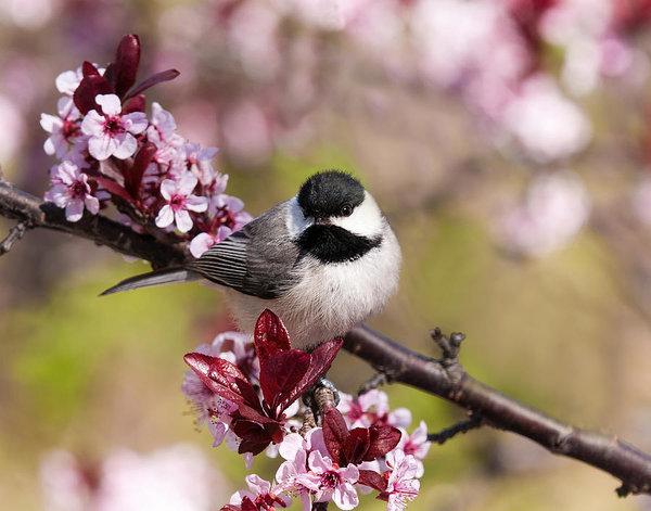 spring-chickadee-lara-ellis