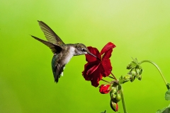 Hummingbird And Gernanium
