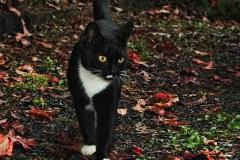 autumn-tuxedo-kitty-lara-ellis