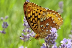 lavender-and-butterfly-2-lara-ellis