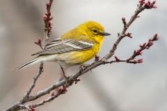 male-pine-warbler-2-lara-ellis